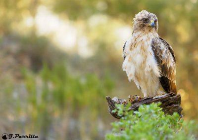 Aguila Calzada4