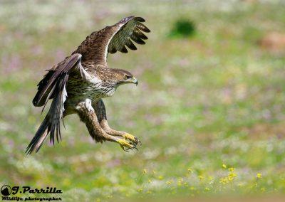Aguila Perdicera1