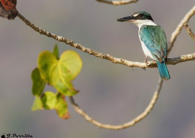Kingfisher Collared