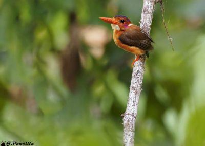 Kingfisher Sulawesi