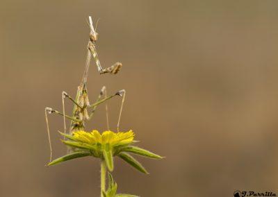 Mantis Empusa1